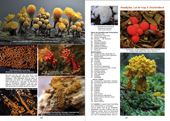 Seiten 536-537 Scheimpilze