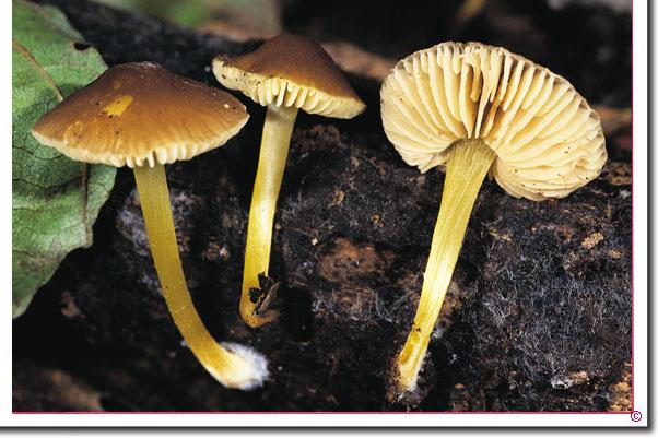 Gelbstieliger Dachpilz Pluteus romellii