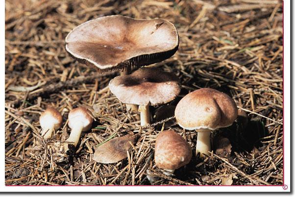 Purpur-Zwerg-Egerling Agaricus dulcidulus