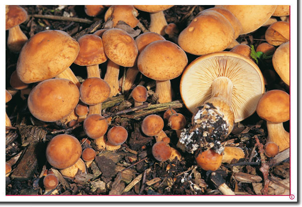 Robuster Ackerling Agrocybe putaminum