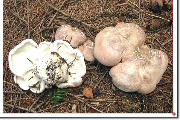Schafeuterporling, Albatrellus ovinus