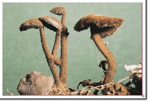 Ohrlöffelstacheling Auriscalpium vulgare