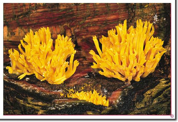 Klebriger Hörnling Calocera viscosa