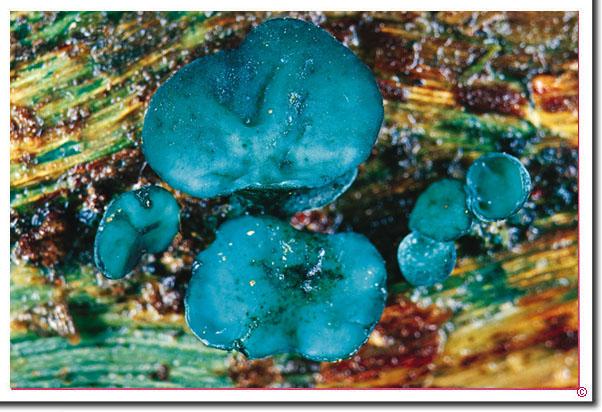 Kleinsporiger Grünspan-Becherling Chlorociboria aeruginascens