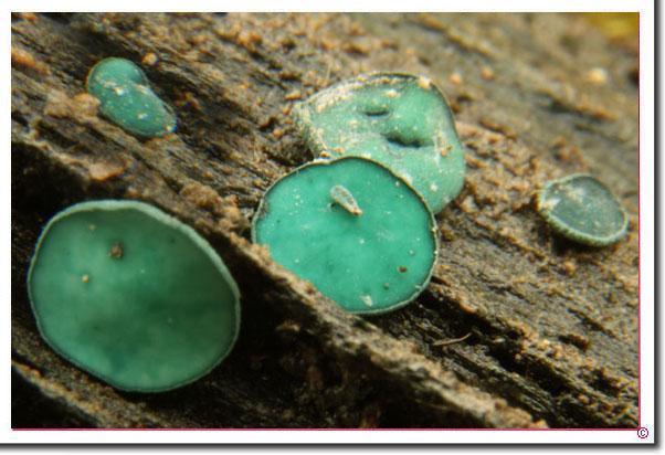 Großsporiger Grünspan-Becherling Chlorociboria_aeruginosa