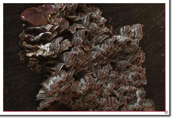 Violetter Knorpelschichtpilz Chondrostereum purpureum