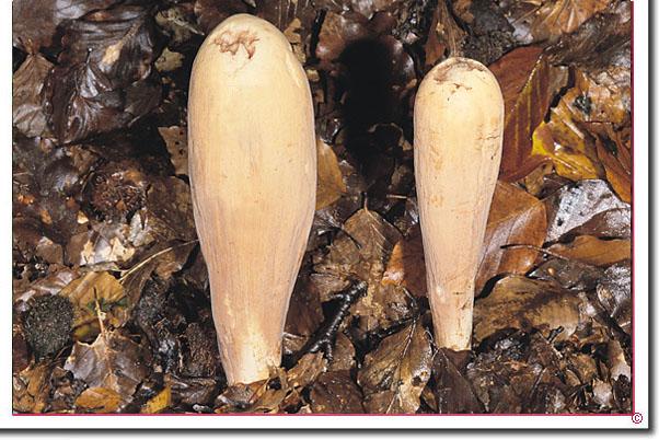 Herkuleskeule Clavariadelphus pistillaris