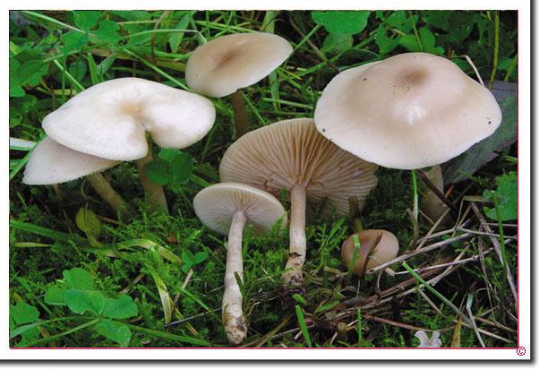 Langstieliger Duft-Trichterling Clitocybe fragrans
