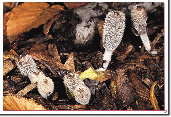 Hasenpfote, Hasenpfoten-Tintling Coprinopsis lagopus