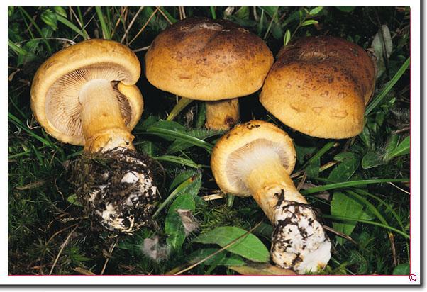 Geschmückter Schleimkopf Cortinarius saginus