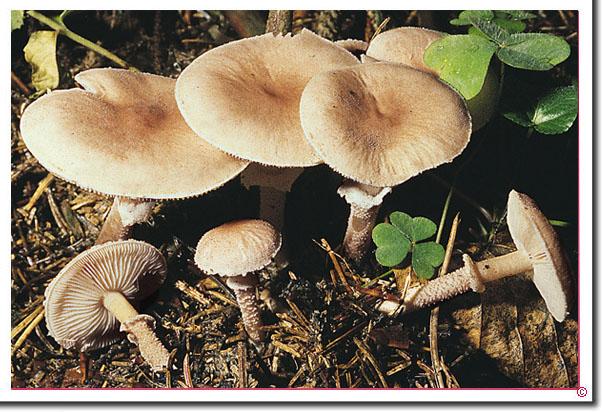 Starkriechender Körnchenschirmling Cystoderma carcharias