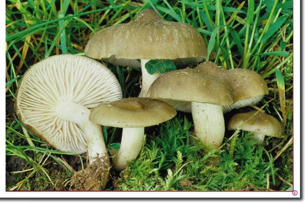 Schild-Rötling Entoloma clypeatum