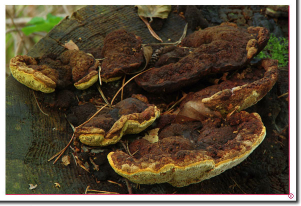 Fenchelporling Gloeophyllum odoratum