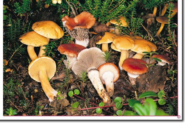 Rosenroter Schmierling Gomphidius_roseus