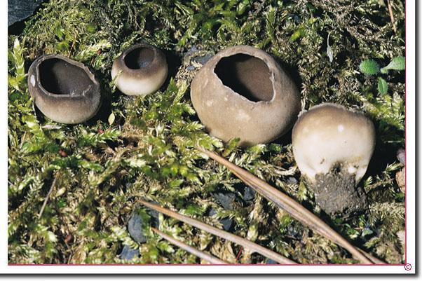 Schwarzweiße Becherlorchel Helvella leucomelaena