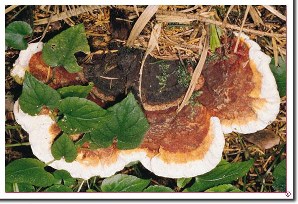 Wurzelschwamm Heterobasidion annosum