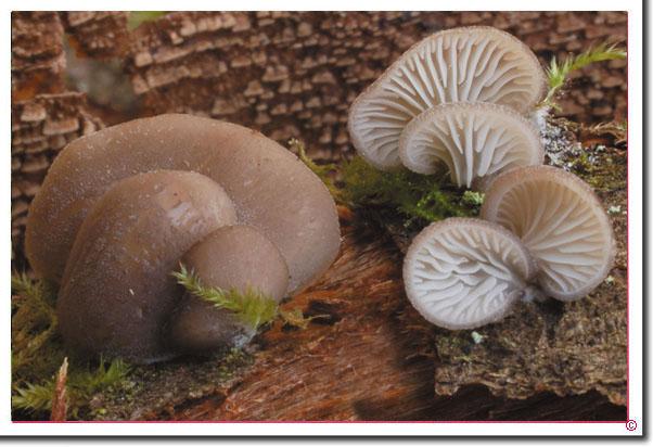 Blaugrauer Muscheling Hohenbuehelia atrocaerulea.html