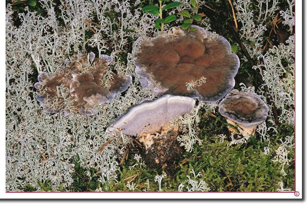 Bläulicher Korkstacheling Hydnellum caeruleum