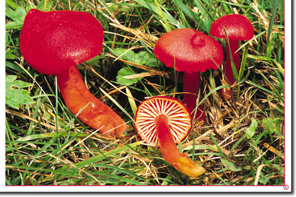 Kirschroter Saftling Hygrocybe coccinea