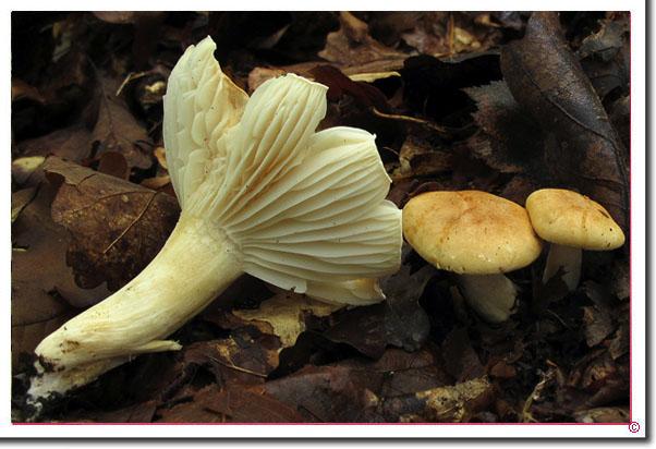 Wald-Schneckling, Hain-Schneckling Hygrophorus nemoreus