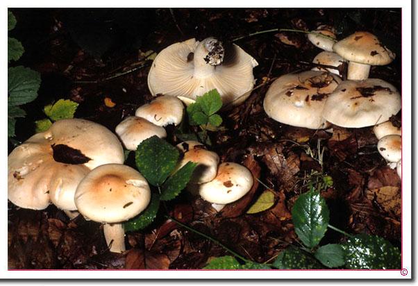 Isabellrötlicher Schneckling Hygrophorus poetarum
