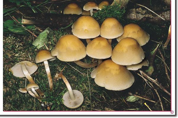 Rauchblättriger Schwefelkopf Hypholoma capnoides