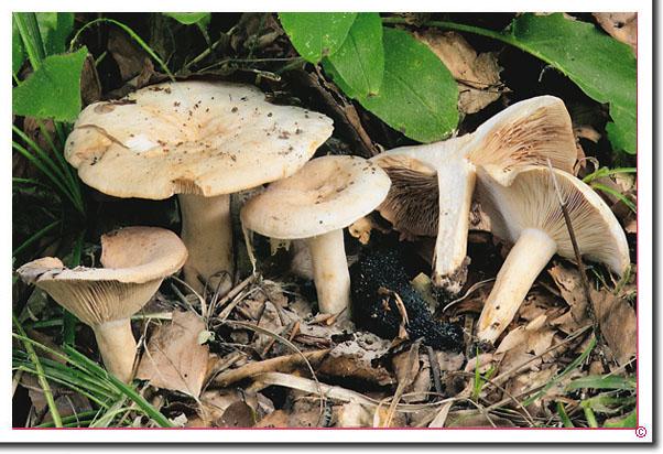 Fleischblasser Milchling Lactarius pallidus