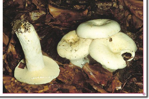 Pfeffer-Milchling Lactarius piperatus