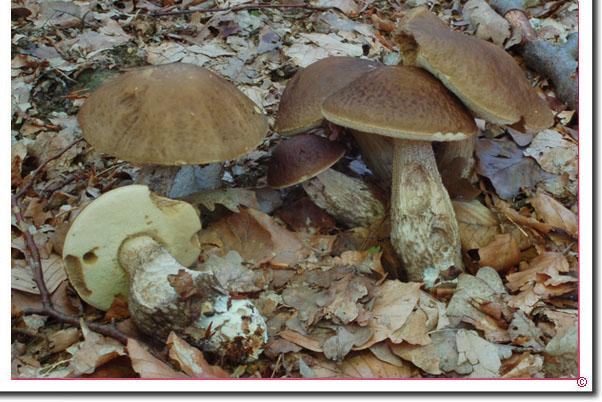 Hainbuchen-Röhrling Leccinum pseudoscabrum