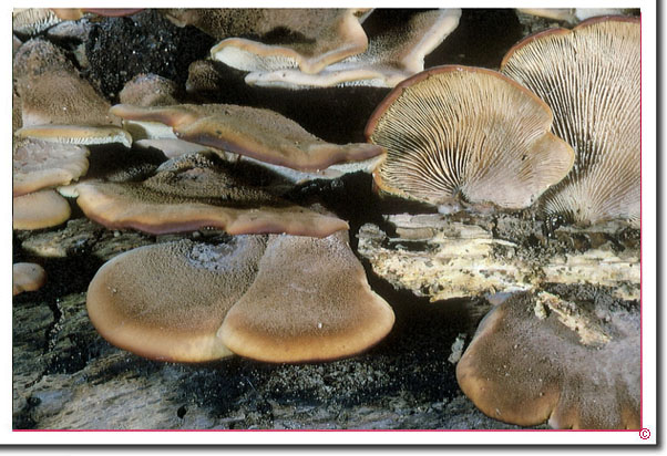 Filziger oder Geschichteter Zähling Lentinellus ursinus