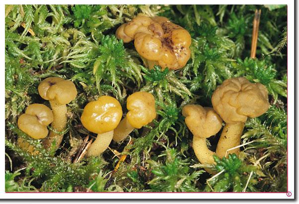 Gemeines Gallertkäppchen Leotia lubrica
