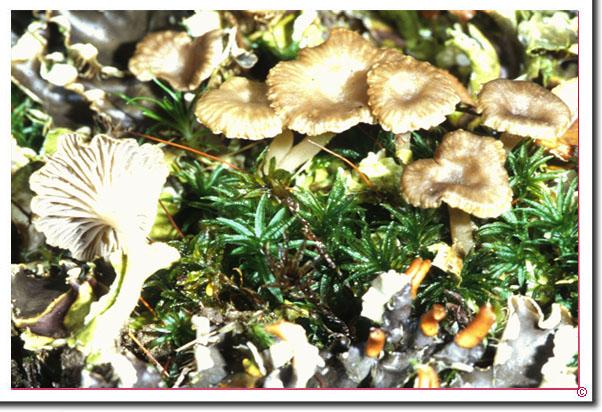 Grauer Flechtennabeling Lichenomphalia_velutina