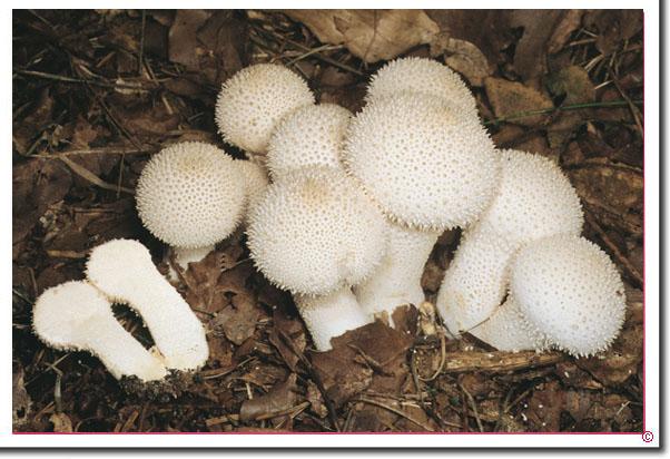 Faschen-Stäubling Lycoperdon perlatum