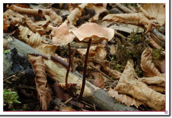 Großer Knoblauch-Schwindling Marasmius alliaceus