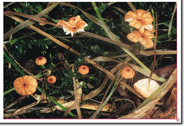 Gras-Schwindling Marasmius curreyi