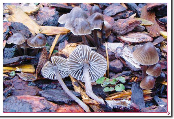 Grauer Nitrat-Helmling Mycena leptocephala