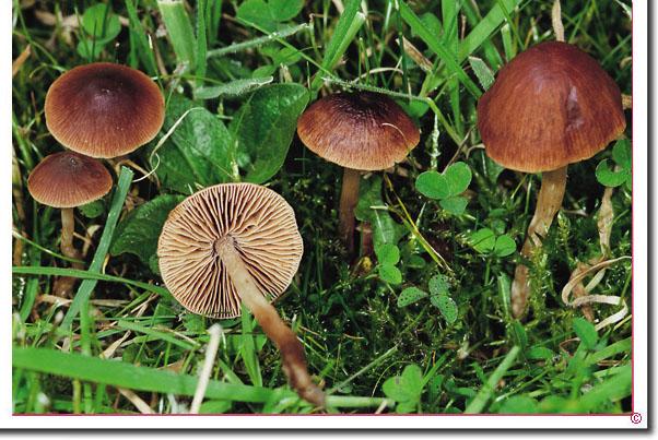 Weiden-Sumpfschnitzling Naucoria salicis