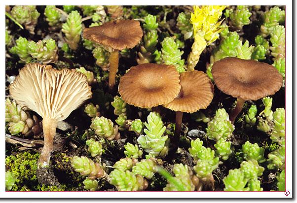 Rotbrauner Nabeling Omphalina pyxidata