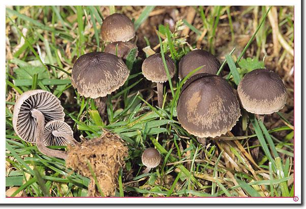 Behangener Düngerling Panaeolus papilionaceus