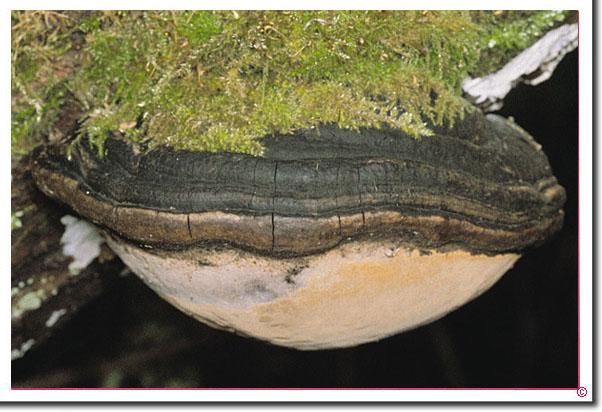 Grauer Feuerschwamm Phellinus igniarius