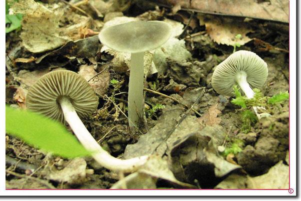 Grauer Dachpilz, Weiden-Dachpilz Pluteus salicinus