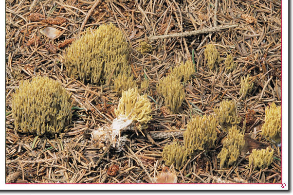 Grünfleckende Koralle, Fichten-Ziegenbart Ramaria abietina