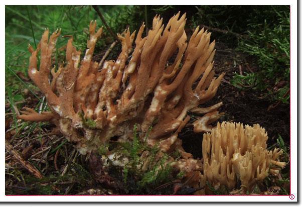 Ockergelbe Koralle Ramaria eumorpha