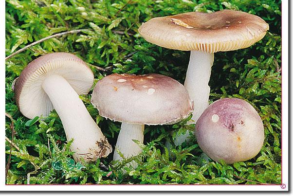 Erlen-Täubling Russula alnetorum