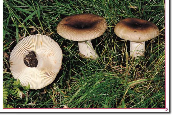 Camembert-Täubling Russula amoenolens