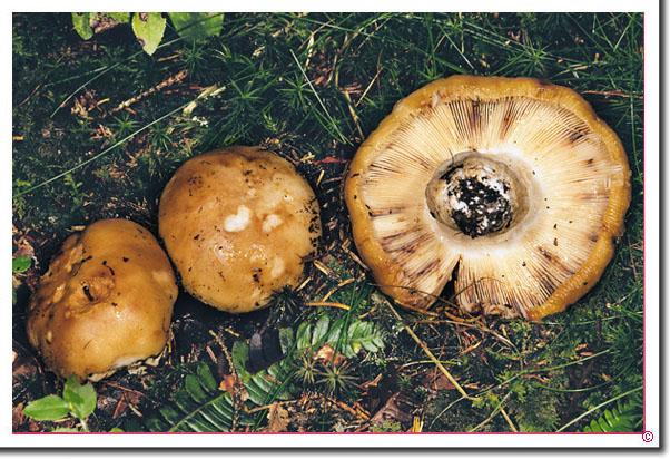 Gemeiner Stink-Täubling Russula foetens