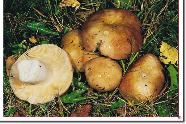 Weicher Dottertäubling Russula intermedia