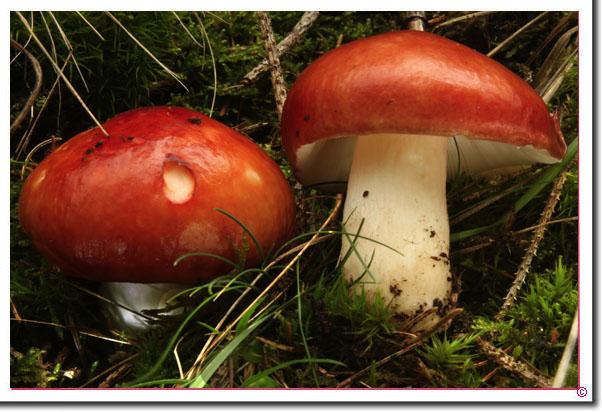 Apfel-Täubling Russula paludosa