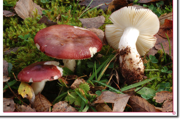 Vielfarbiger Täubling Russula versicolor