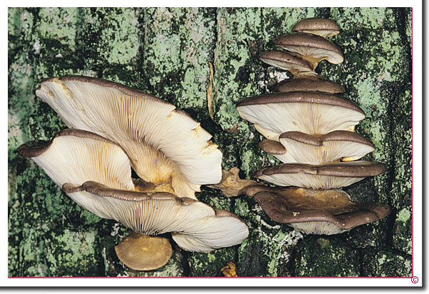 Gelbstieliger Muschelseitling Sarcomyxa serotina
